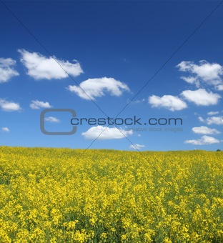 canola field with cumulus clouds