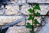 Grafitti Ivy