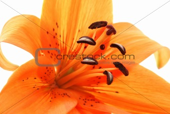 abstract close up  of orange lily