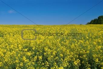 bright canola field