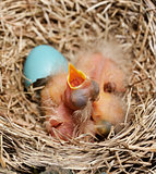Close-Up Of Just Hatched Robin Chicks
