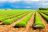 lavender field, Plateau de Valensole, Provence, France