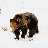 Grizzly bear. British Columbia. Canada.