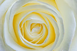 beautiful open flower white rose macro