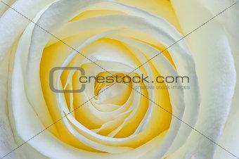 beautiful open flower white rose macro