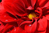 Red dahlia bloom with droplets of water