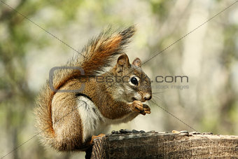 Red Squirrel Collecting Seeds