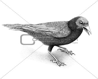 Crow standing with mouth open, seen from side, isolated on white