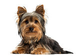Yorkshire terrier lying, looking at the camera, isolated on whit