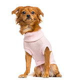 Dressed-up Mixed-breed Chihuahua sitting, 10 months old, isolate