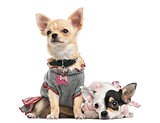 Dressed-up Chihuahuas sitting and lying next to each other, isol