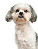 Close-up of a Shih Tzu, 3 years old, isolated on white