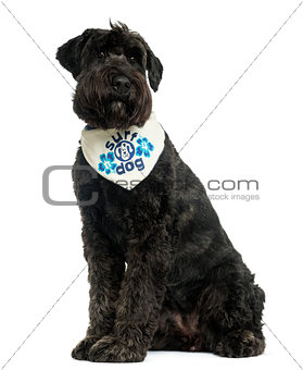 Bouvier des Flandres with bandana, sitting, 2 years old, isolate