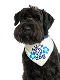 Close-up of a Bouvier des Flandres with bandana, 2 years old, is