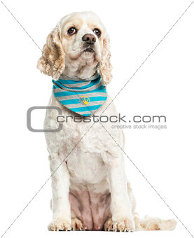 American Cocker Spaniel wearing a bandana, sitting, 3 years old,