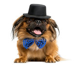 Pekingese with a bow tie and top hat, lying and panting, isolate
