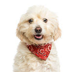 Close-up of a Crossbreed dog wearing a red bandana, panting, iso
