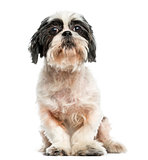 Front view of a Shih tzu sitting, 9 years old, isolated on white