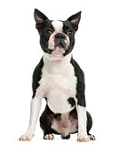Front view of a Boston terrier sitting, 3 years old, isolated on