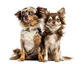 Two Chihuahuas sitting next to each other, isolated on white