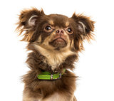 Close-up of a Chihuahua with green collar, looking up, isolated