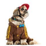 Dressed up Shih tzu with a cap, sitting, isolated on white