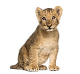 Lion cub sitting old, looking at the camera, 10 weeks, isolated