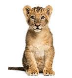Lion cub sitting, looking at the camera, 10 weeks old, isolated