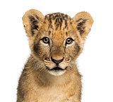 Close-up of a Lion cub looking at the camera, 10 weeks old, isol