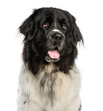 Close-up of a Newfoundland dog panting, looking up, 2 years old,