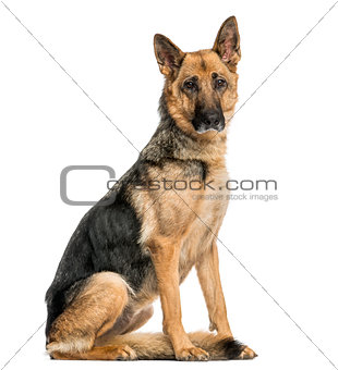Old skinny German Shepherd dog sitting, looking at the camera, i