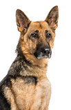 Close-up of an old German Shepherd dog, isolated on white