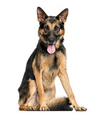 German Shepherd dog sitting, panting, looking at the camera, 4 y