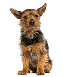 Yorkshire Terrier sitting, 8 years old, isolated on white