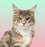 Close-up of a Maine Coon kitten looking at the camera, on a grad
