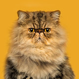 Front view of a grumpuy Persian cat sitting, looking at the came