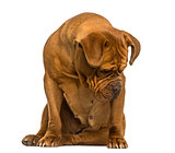 Dogue de Bordeaux sitting, looking down, isolated on white