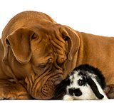 Close-up of a Dogue de Bordeaux sniffing a Lop rabbit, isolated