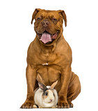 Front view of a Dogue de Bordeaux panting, sitting with a rabbit