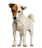Jack russel terrier standing, looking at the camera, isolated on