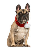 French bulldog wearing a christmas scarf, sitting, isolated on w