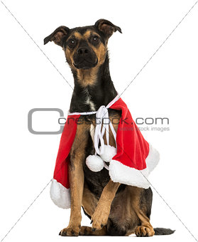 Crossbreed dog wearing a christmas cape, sitting, isolated on wh