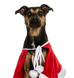 Close-up of a Crossbreed dog wearing a christmas cape, isolated