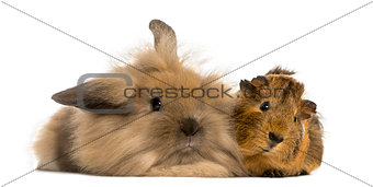 Angora rabbit and Guinea pig, isolated on white