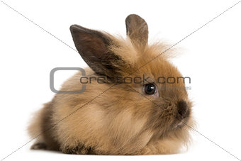 Angora rabbit, isolated on white