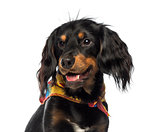 Close-up of a Crossbreed dog panting, looking away, isolated on