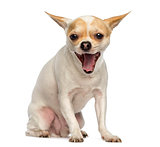 Chihuahua sitting, yawning, isolated on white