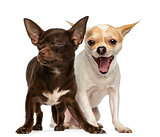 Two Chihuahuas, one is yawning and the other has is eyes closed