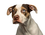 Close-up of a wall-eyed crossbreed dog looking away, isolated on