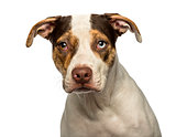 Close-up of a wall eyed crossbreed dog looking at the camera, is